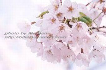 桜 さくら_M
